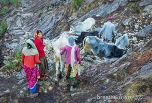 Kosi-oxen